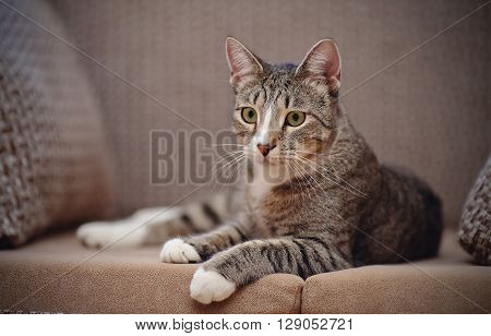 The striped cat lies on a sofa.