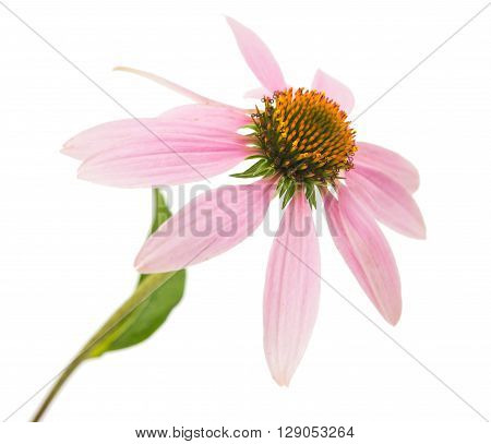 Echinacea flower on a white background petal, pink, purple,