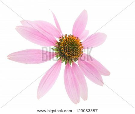 Echinacea flower on a white backgroundl, medicine, petal,