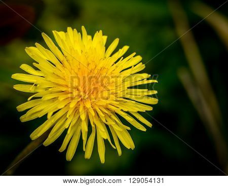 Close up of a yellow dandelion flower.