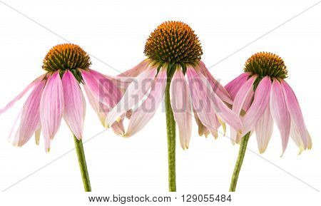 Echinacea flower on a white background healthy, herbal, medicine,