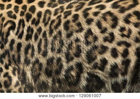 Persian leopard (Panthera pardus saxicolor), also known as the Caucasian leopard. Fur texture. Wild life animal.