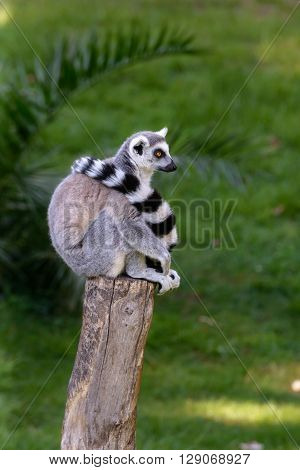 sweet and fluffy lemur sitting on a tree trunk looking around