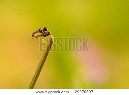 A pair of robber fly mating on a blade of grass