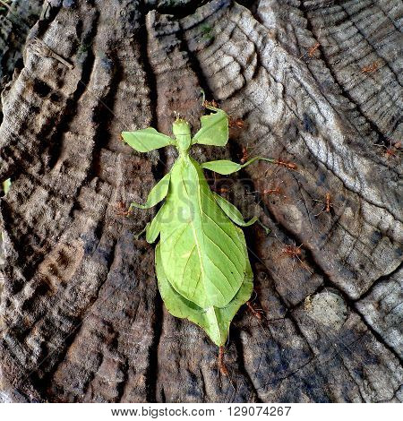 Phyllium giganteum, leaf insect walking on bark