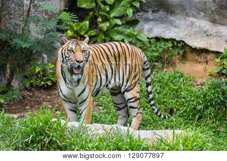 Bengal Tiger in forest,Tiger lying on the grass
