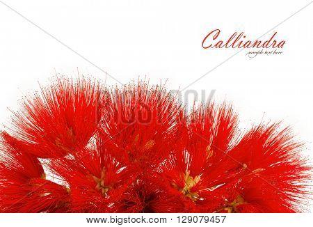 Calliandra Flower isolated on white background