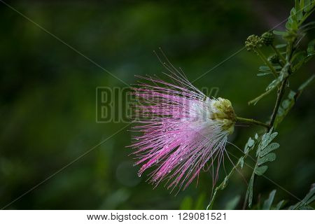 After rain many tiny water drops are glowing in pink mimosa flower.
