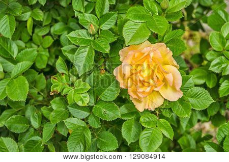 Single yellow or yellow and peach colored rose in full bloom against a background of green leaves
