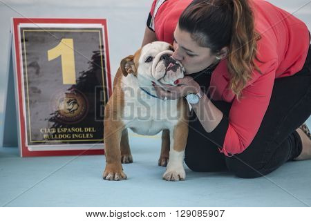 Badajoz Spain - May 8 2016: International Exhibition. Woman kissing a winner British Bulldog during the exhibition contest