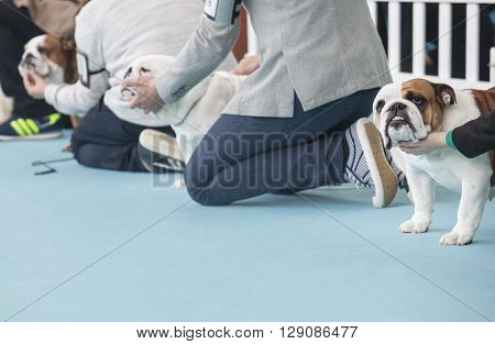 Badajoz Spain - May 8 2016: International Exhibition of dogs. Owners on court with British Bulldogs