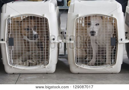 Two powerful dogs at dog crates looking out. American Staffordshire Terrier