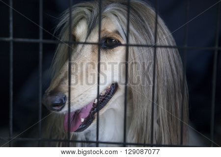 Portrait of Afghan Hound at dog crate looking out