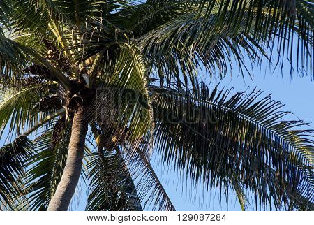 Coconut palm trees perspective view, concept of tropical climate and beach