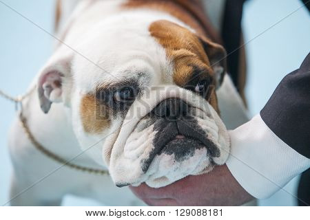 British Bulldog under the care of its owner before the exhibition contest