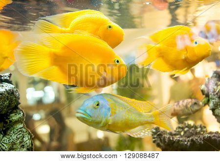 fish in an aquarium silver, small, life, macro,