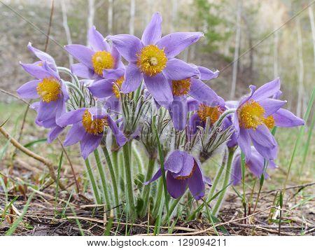 Pasque Flower, First Spring Flower