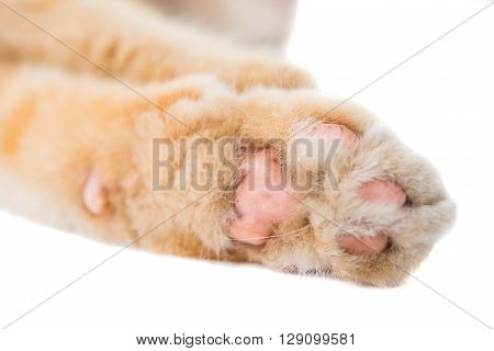 cat paw isolated on white background, tabby, young