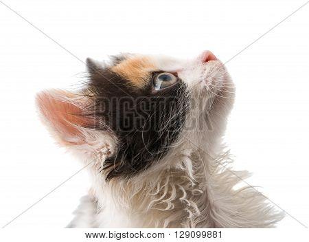little kitten on white background, portrait, pretty