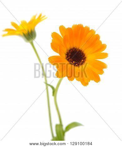 marigold flowers on a white background macro, marigold,