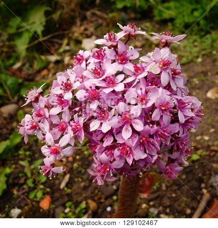 Pink and white flowers of darmera peltata (Indian rhubarb / umbrella plant)
