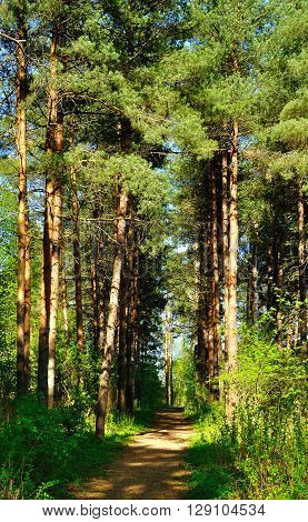 Forest spring landscape - row of pine trees and narrow path lit by sunlight. Spring oicturesque forest landscape.