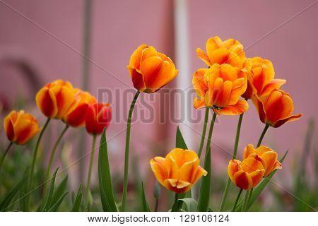 Spring Orange Tulips