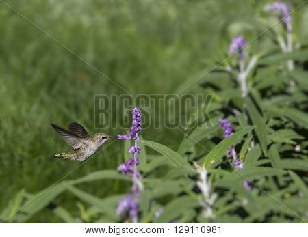 Female Black-chinned Hummingbird Archilochus alexandri drinking nectar from a flower.