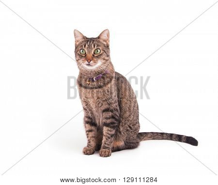 Brown tabby cat sitting and looking to the left of the viewer attentively, on white