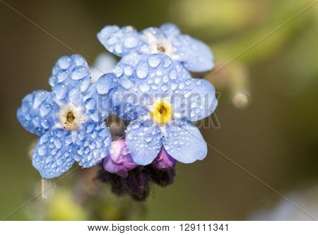 Myosotis, Forget-me-not flowers with dew drops in morning sun