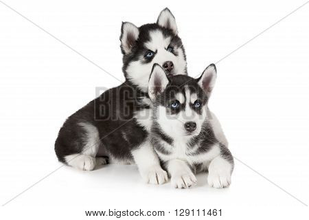 Studio shot of two purebred Siberian Husky puppies isolated on white background