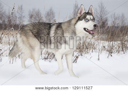 Purebred Siberian Husky dog walking among snow-covered field