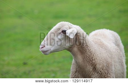 Sheep grazing on a green meadow in de center of Spain