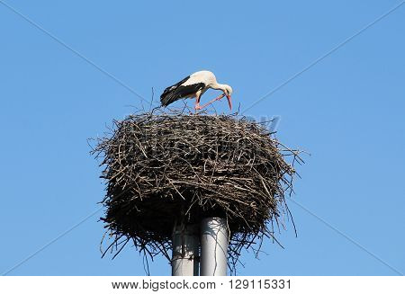 white stork on the huge nest scratching its head with its leg