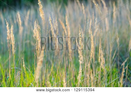 Beautiful Foxtail Grass Blooming