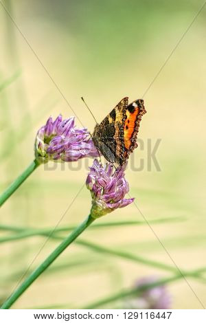 Orange-black tortoise butterfly(Vanessa urticae) on a lilac flowers chives(Allium schoenoprasum) on a blurred yellow background close-up. Selective focus