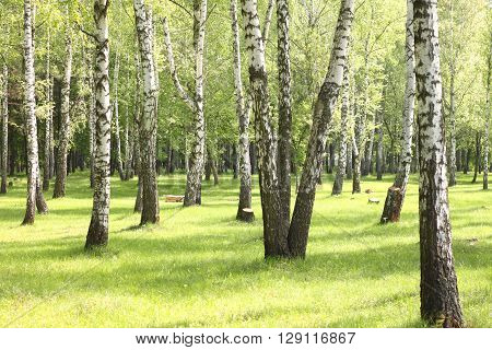 Summer birch trees in forest, beautiful birch grove, birch-wood, green landscape