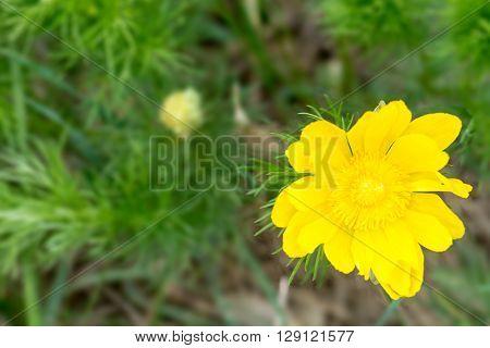 Pheasant's eye spring flower in Slovak Karst - shallow depth of field