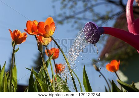 Watering Red Tulips From A Watering Can. The Cultivation Of Flowers In The Country Outside The City
