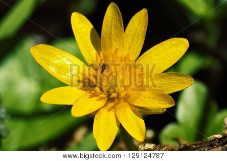Lesser celandine flowers in early spring. Close up shoot