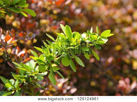 close photo of a twig of Japanaese barberry with fresh green leaves