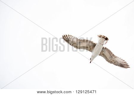 White Seagull flying in sky on a white background