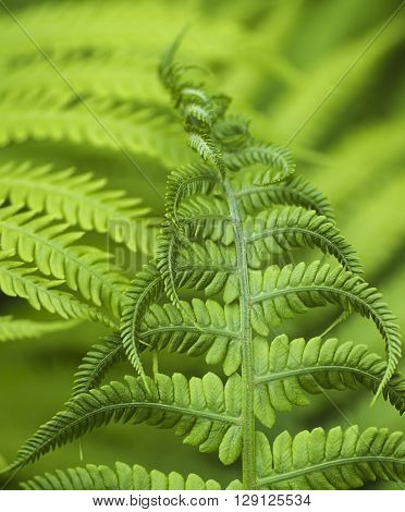Young fern leaves begin to unfold macro