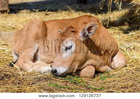 Calf Cow In Farm