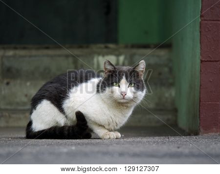 Black and white street cat. Wandering cat sitting on the pavement at the entrance to the house. The concept of the problem of homeless animals
