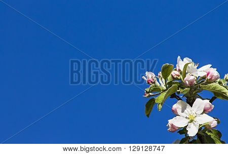 inflorescence flower apple tree on blue sky background