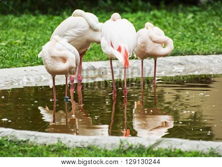 Group of Greater flamingos - Phoenicopterus ruber roseus - in outdoors. Animal scene.