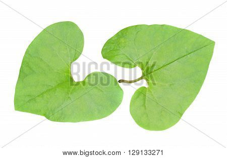 A close up of the green leaves of medicinal herb coltsfoot. Isolated on white.
