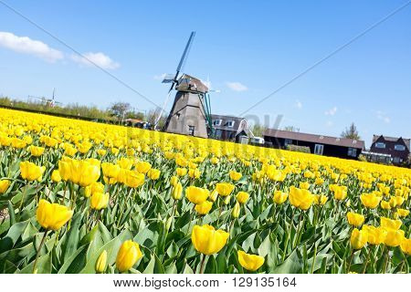 Blossoming tulip fields and a traditional windmill in the countryside from the Netherlands