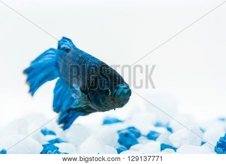 Blue betta fish, fighter fish, in aquarium with blue and white stones